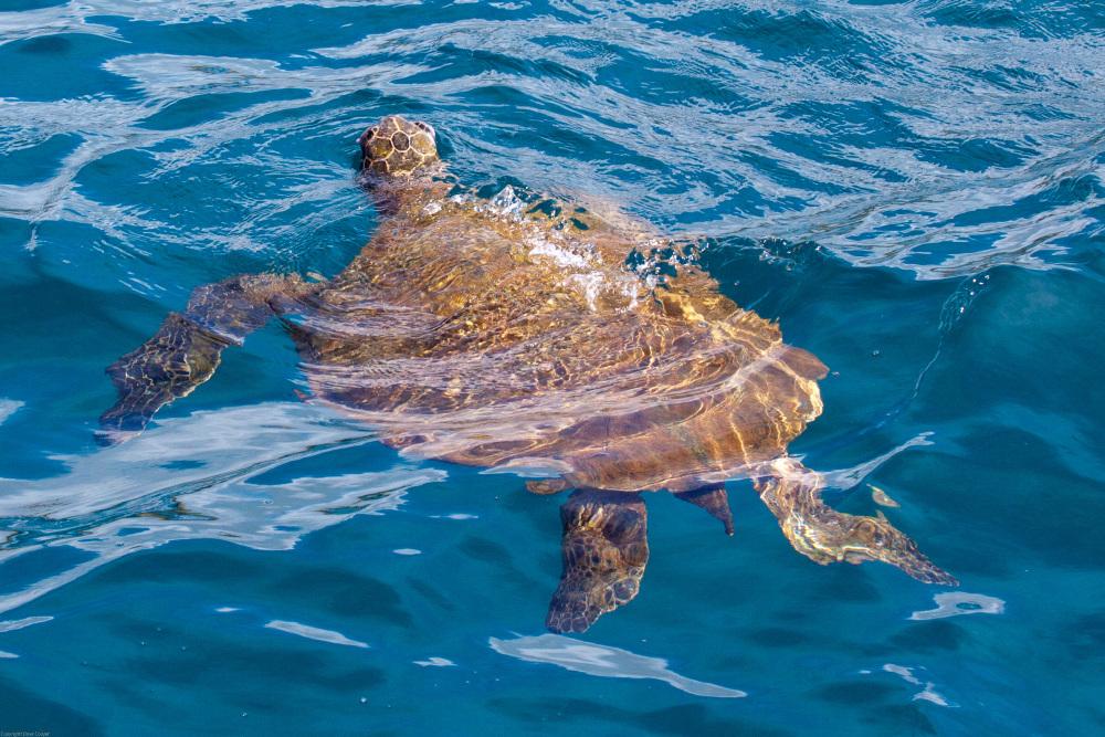 Sea Turtle - Kauai