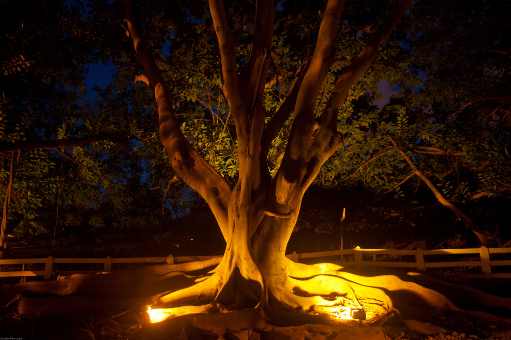 Fig Tree - Kauai
