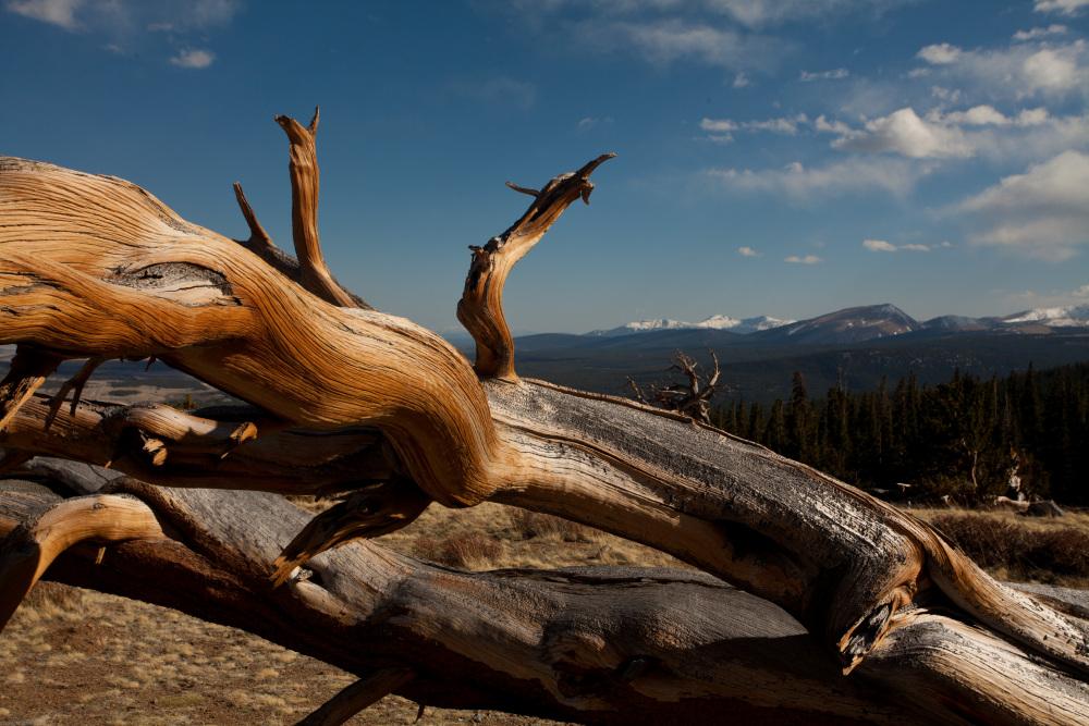 Bristlecone - Windy Ridge, Mount Bross