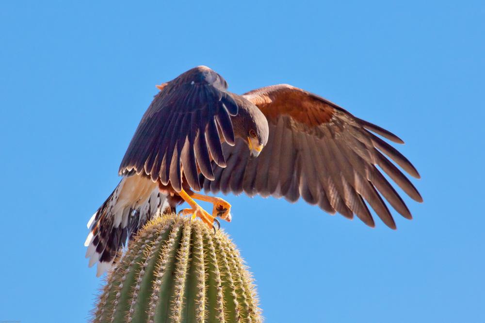 Harris's Hawk - Arizona-Sonora Desert Museum