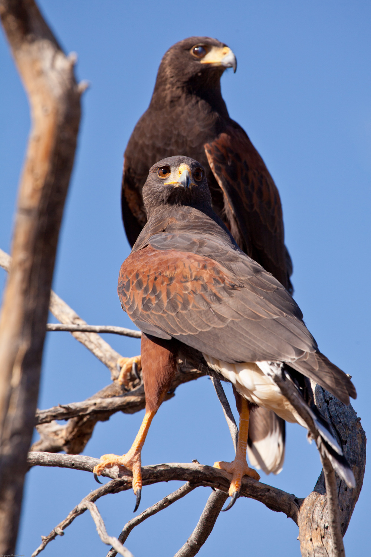 Harris's Hawks - Arizona-Sonora Desert Museum