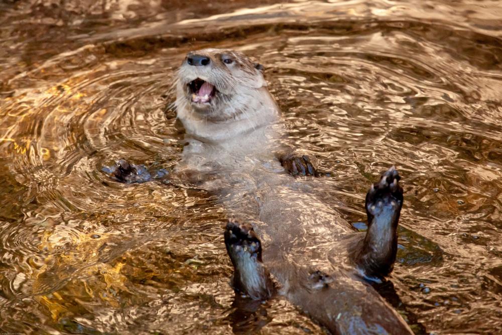 River Otter - Arizona-Sonora Desert Museum