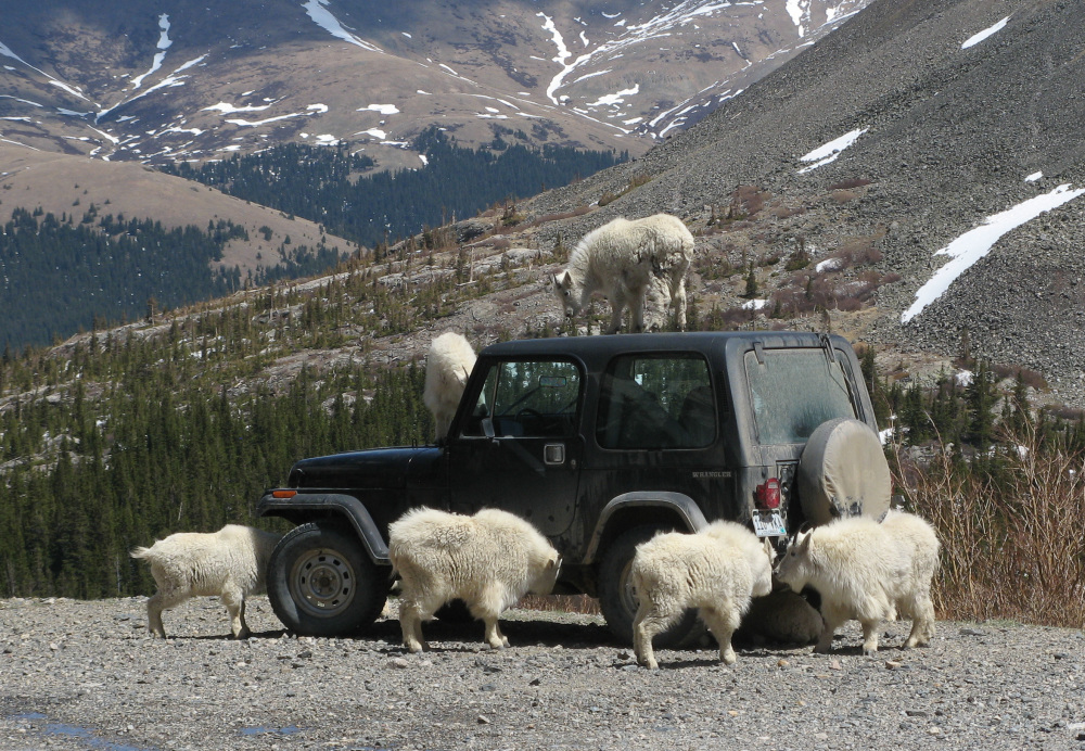 Mountain Goats and my Old Jeep