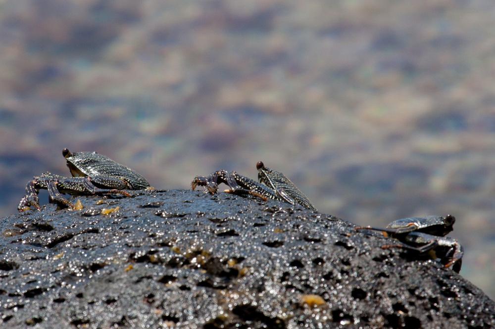 Crabs - Kauai