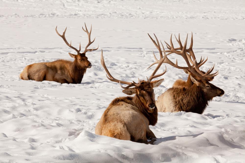 A bunch of Bull - National Elk Refuge, Wyoming