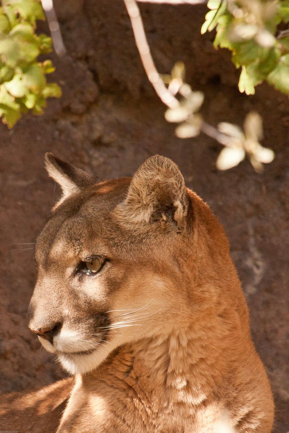Mountain Lion - Arizona-Sonora Desert Museum