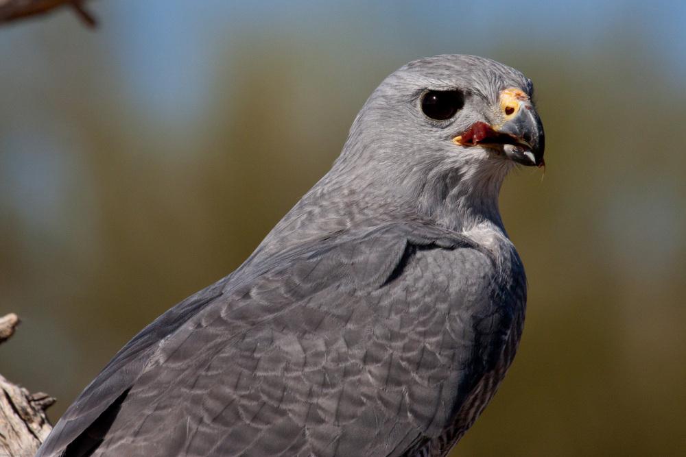 Grey Hawk - Arizona-Sonora Desert Museum