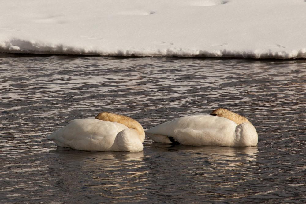 Trumpeter Swans - Flat Creek, Wyoming