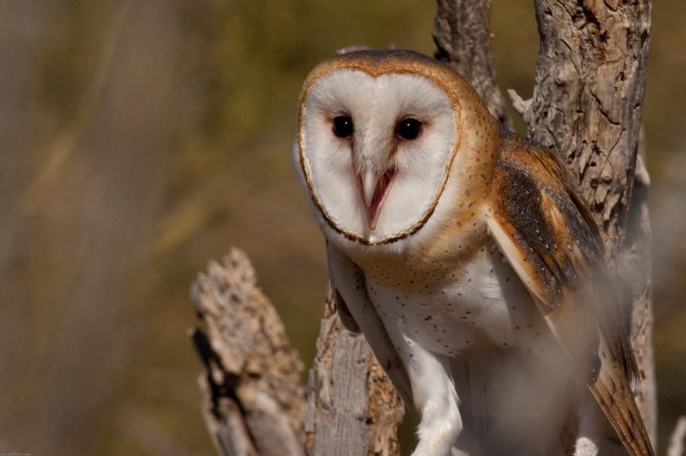 Barn Owl -Arizona-Sonora Desert Museum