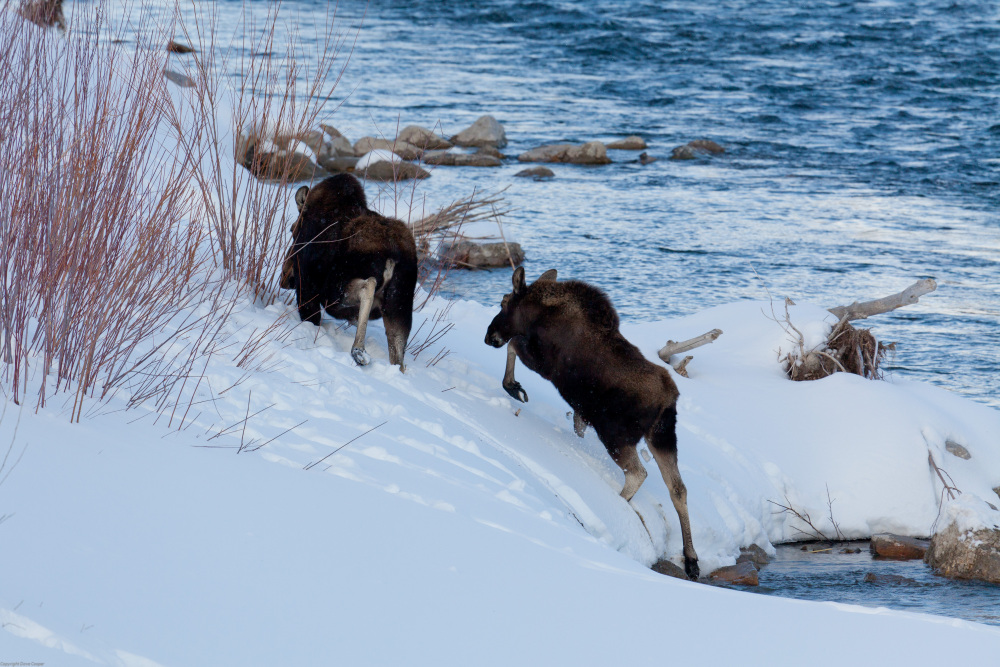 Moose - Grand Teton NP