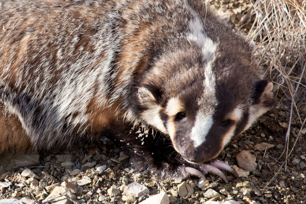 Badger - Yellowstone NP