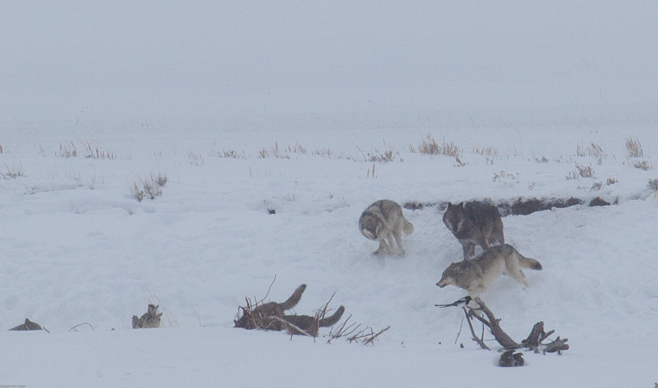 Lamar Valley Wolf Pack - Yellowstone NP