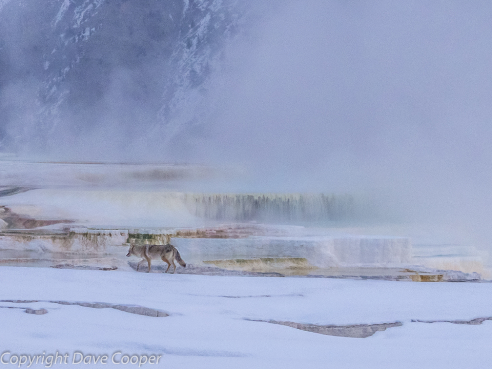 Coyote taking the Waters at Mammoth Hot Springs, Yellowstone National Park