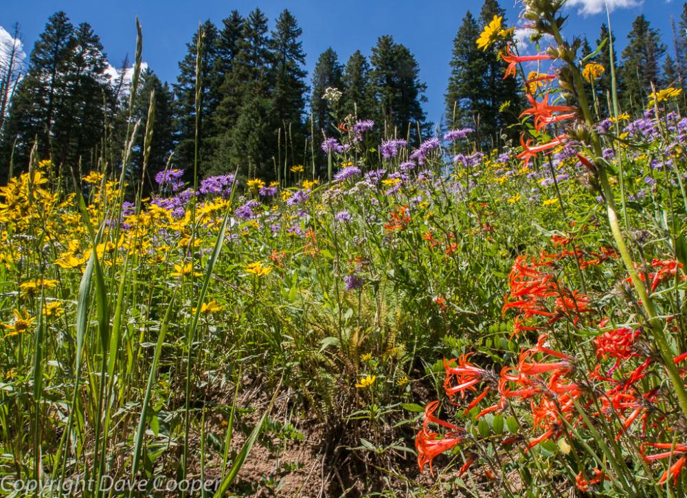 Wildflowers on Grand Mesa, Colorado