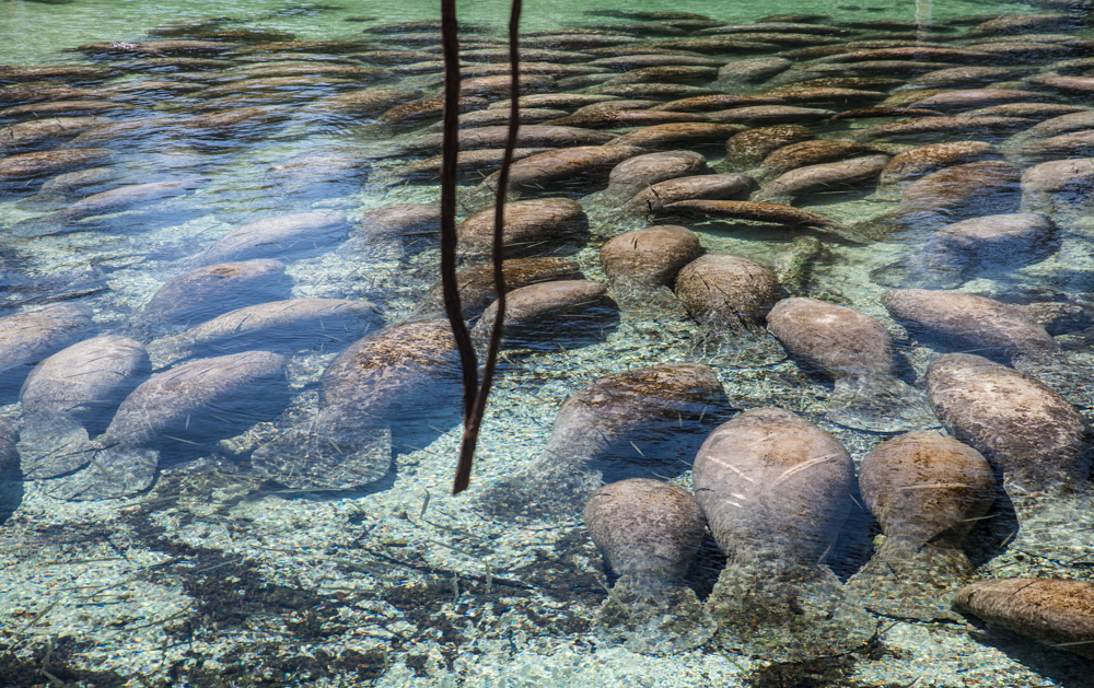 Manatees in the Crystal River