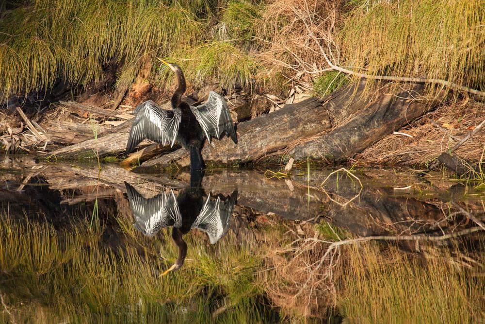Anhinga warming in the sun, Pine Island, Florida