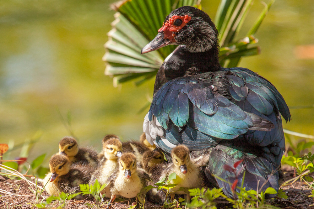 Muscovy Duck and chicks, Pine Isand, Florida