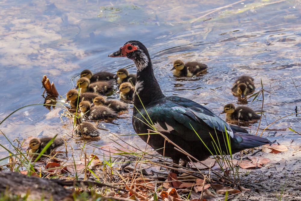 Muskovy Ducks, Pine Island, Florida