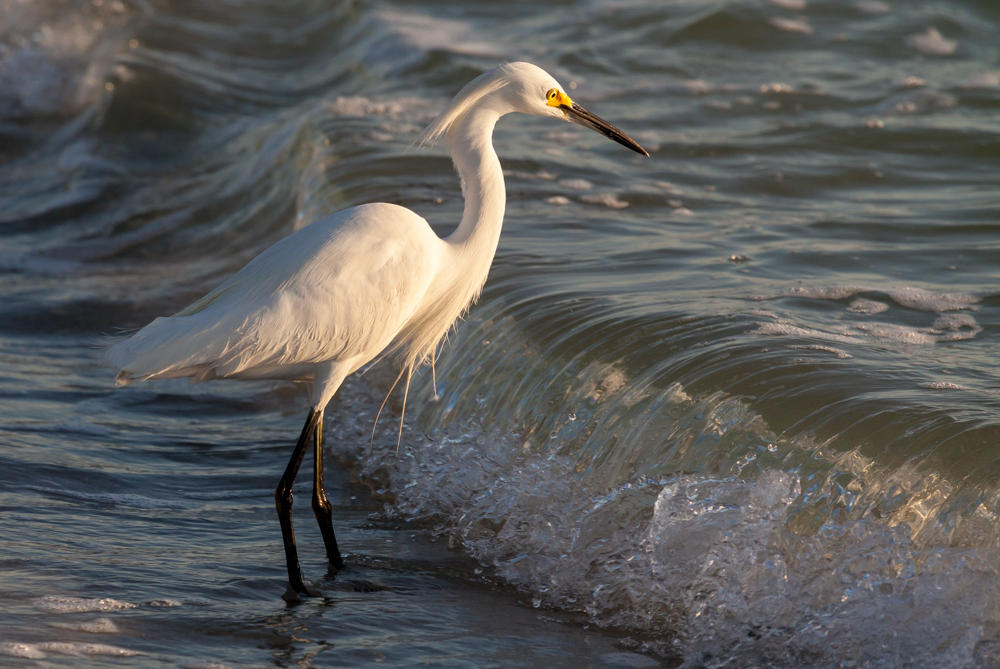 Snowy Egret fishing in the surf, Naples, Florida