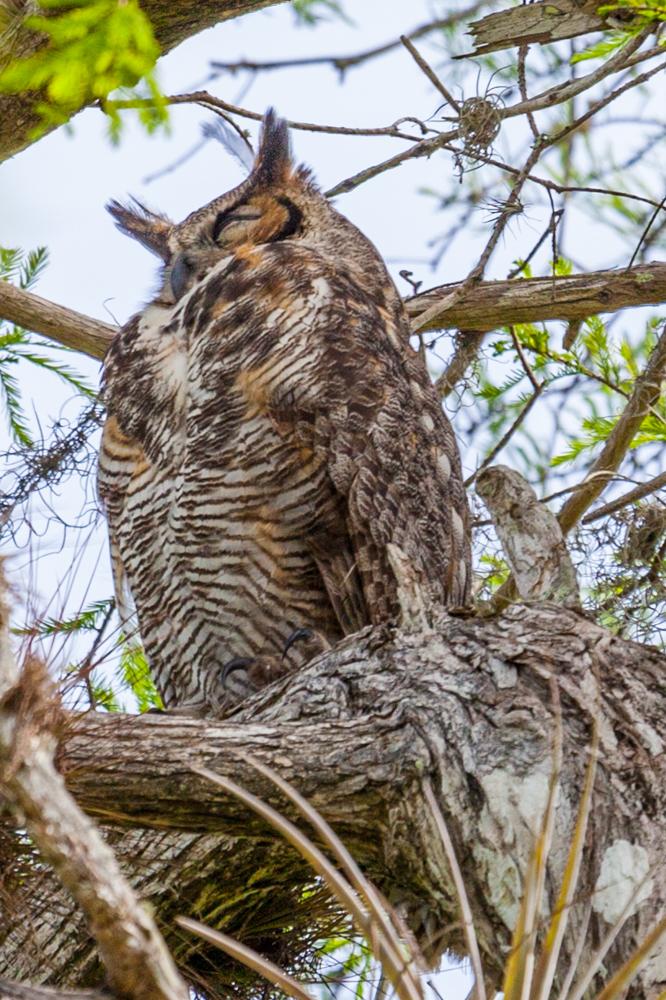 Great Horned Owl, Everglades National Park, Florida
