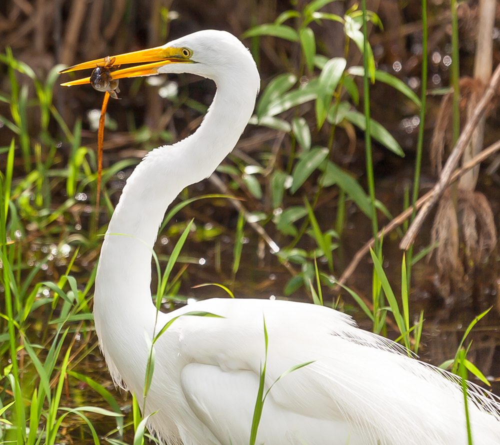 Great Egret spearing fish, Everglades National Park portrait