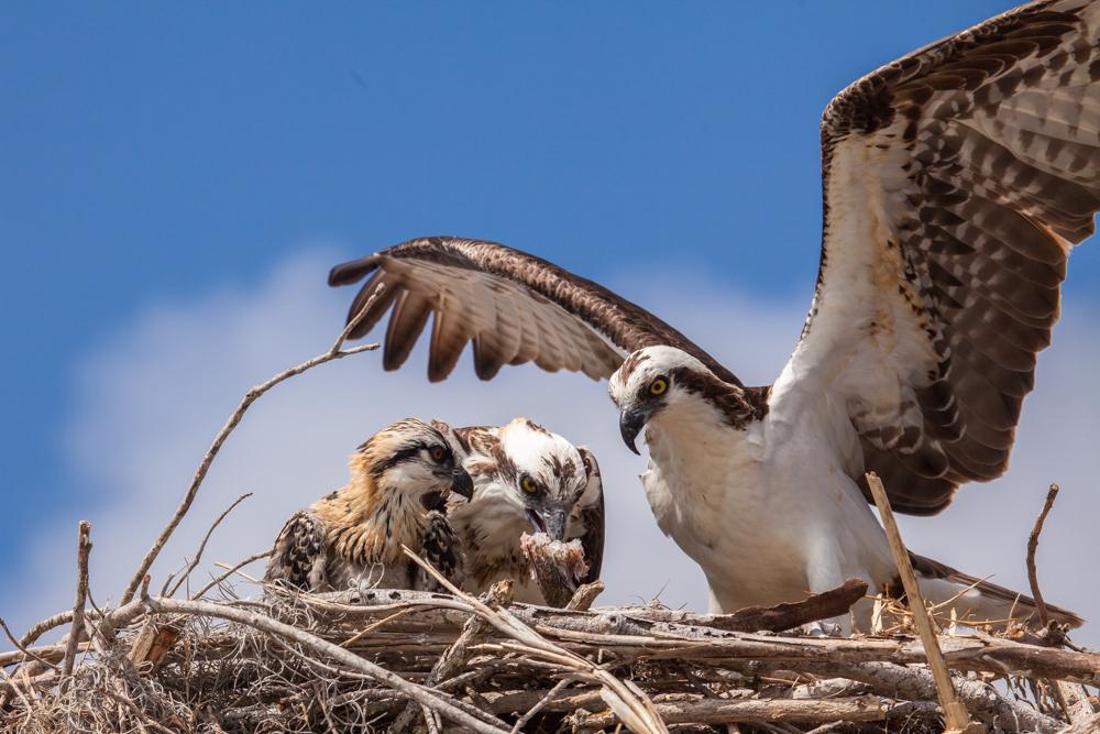 Osprey Nest, osprey feeding chick Everglades National Park