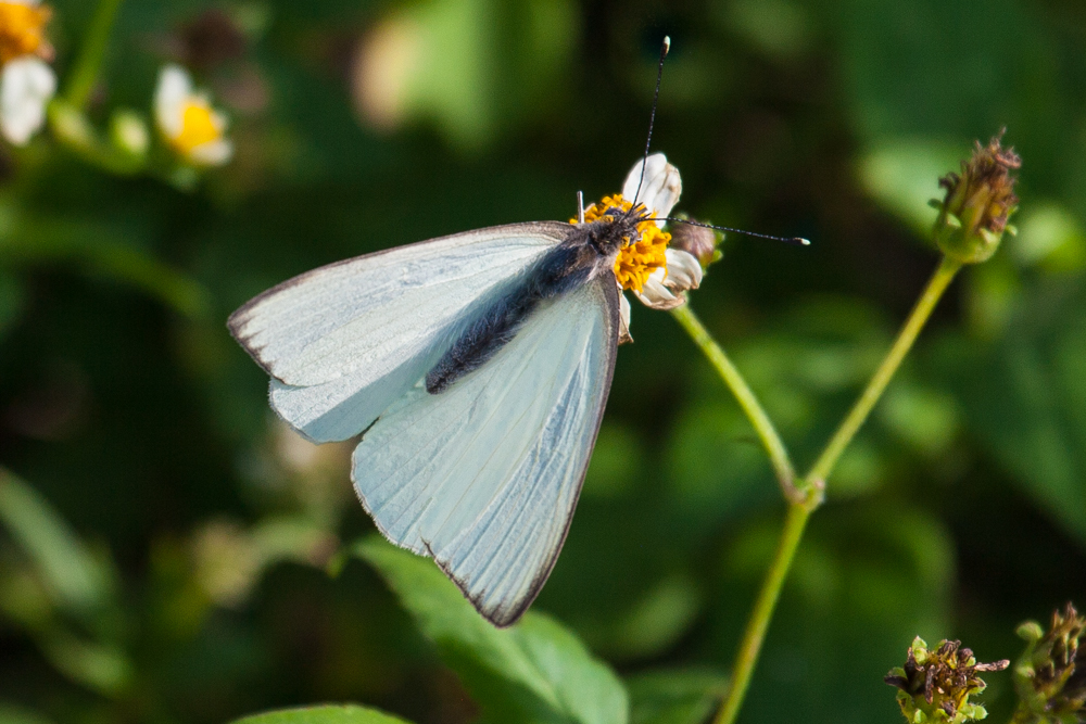 Great Southern White butterfly, Everglades National Park