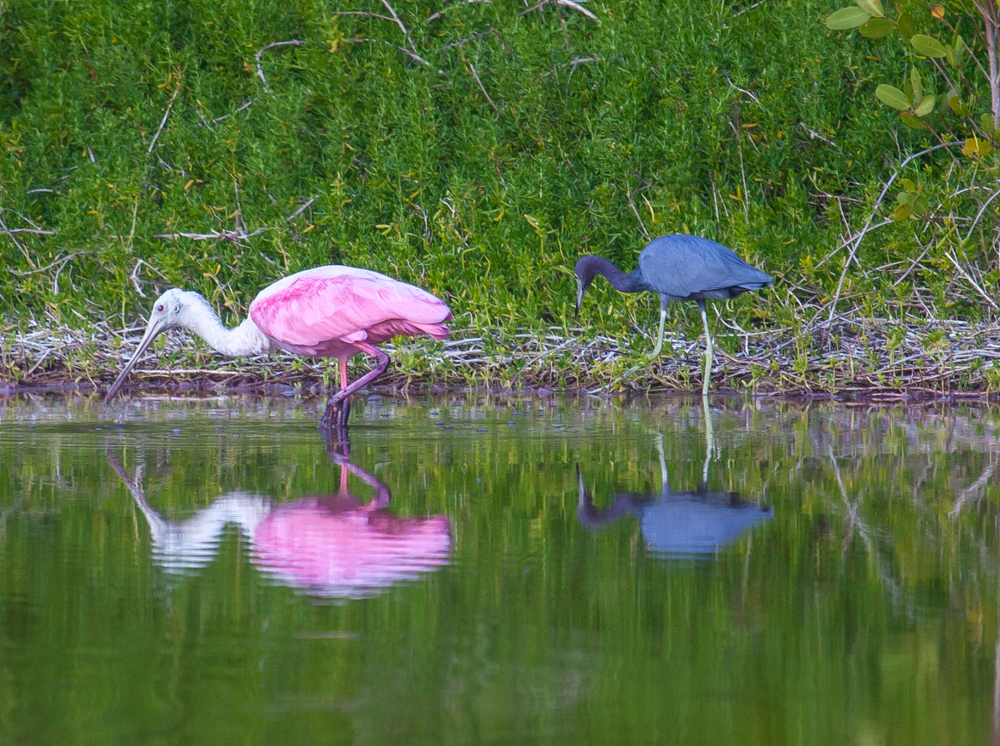 Roseate Spoonbill and Little Blue Heron, Eco Pond, Everglades National Park