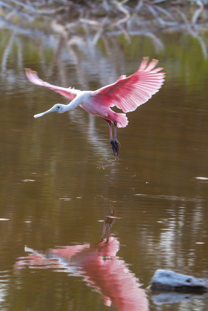 Roseate Spoonbill reflection flying Everglades National Park