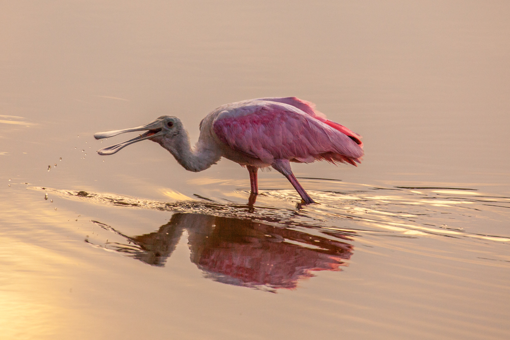Roseate Spoonbill sunset reflectionEverglades National Park