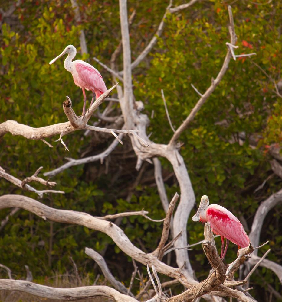 Roseate Spoonbills, Everglades National Park, Florida