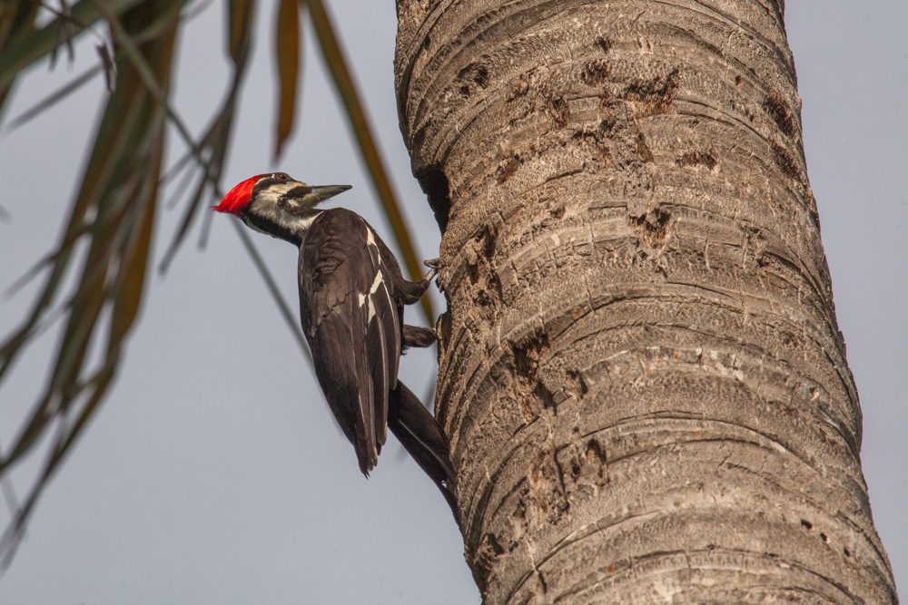 Piliated Woodpecker, on tree Everglades National Park
