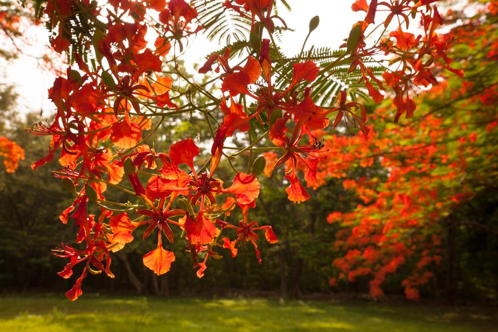 malinche tree, Costa Rica