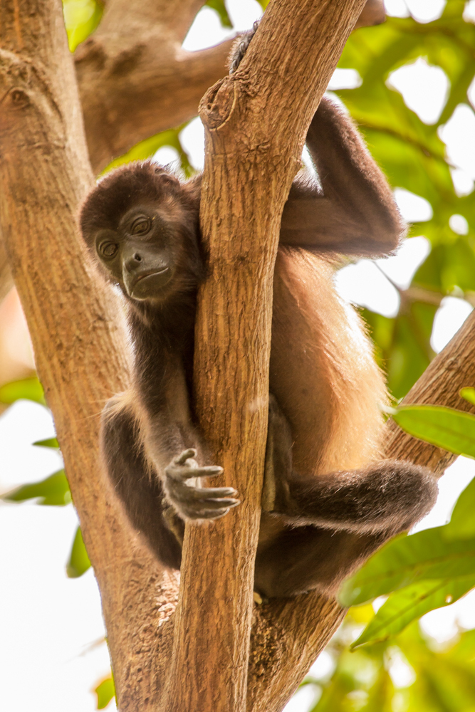 Howler Monkey, Costa Rica tree