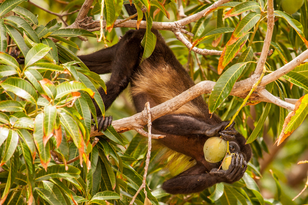 Howler Monkey, Costa Rica tree eating guava fruit