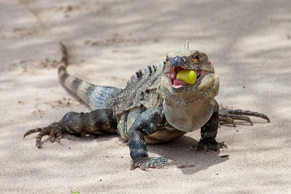 Iguana eating fruit, Costa Rica sand guava