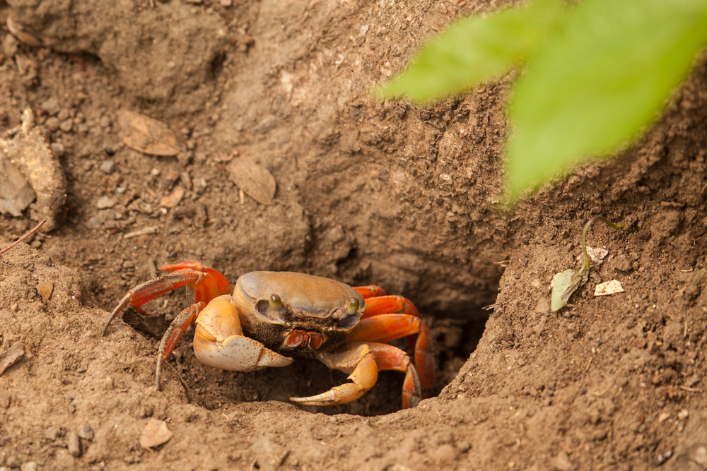 Tropical land crab, Guanacaste Costa Rica