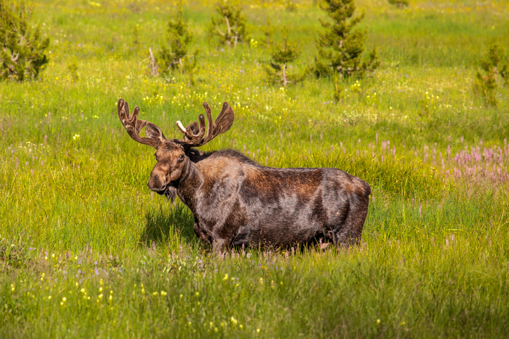 Moose in Big Meadows, Rocky Mountain National Park