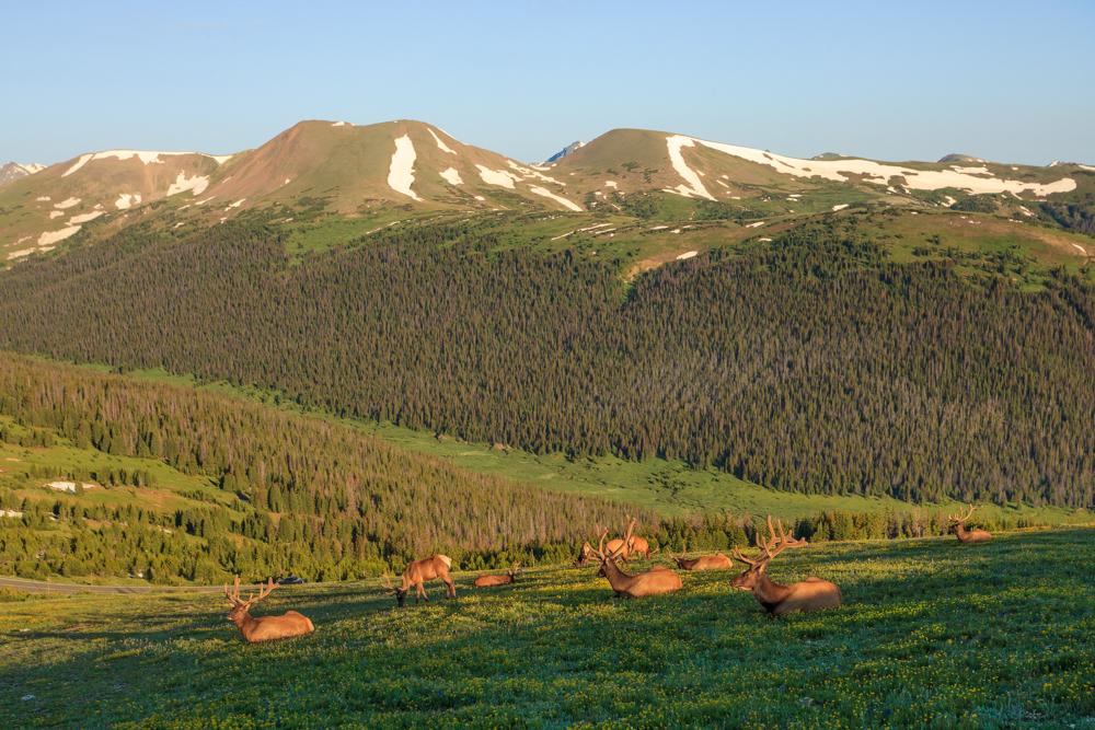 """Boys Club"" - Bull Elk enjoying sunrise, Rocky Mountain National Park"