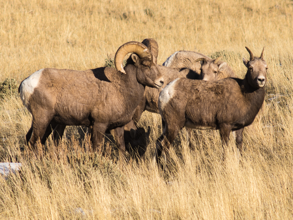 Bighorn Sheep, South Fork of the Shoshone River