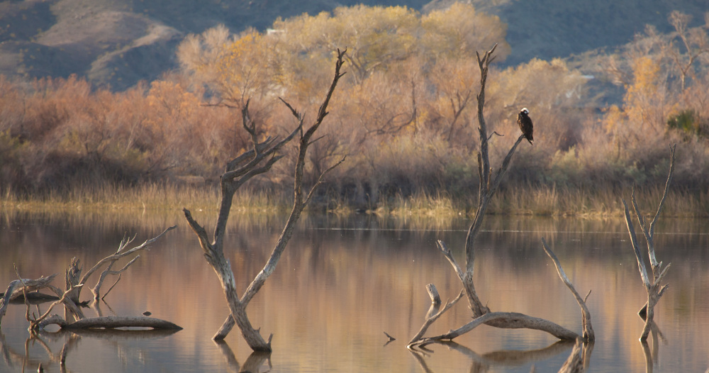Bald Eagle on Snag, Lake Havasu