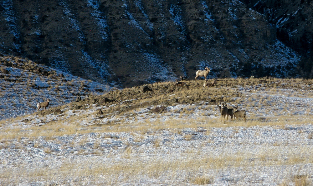Bighorn Sheep and deer in the South Fork